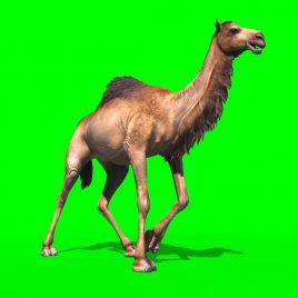 Camel Dromedary