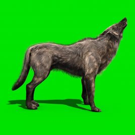 Wolf Walks Howl – 3D Model Animated