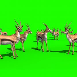 Herd Gazelles – 3D Model Animated