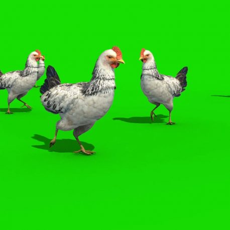White Chicken Walk Eat Eggs Animals – PixelBoom