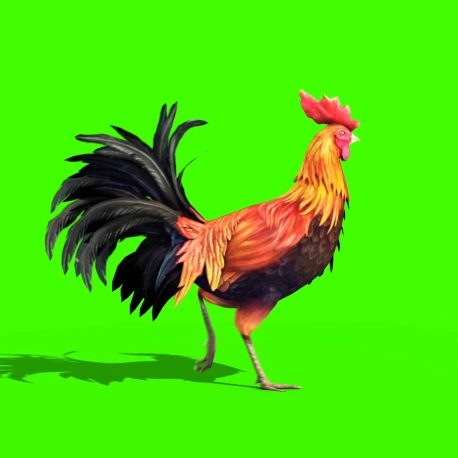 Rooster Gallo Plumage Walk – PixelBoom