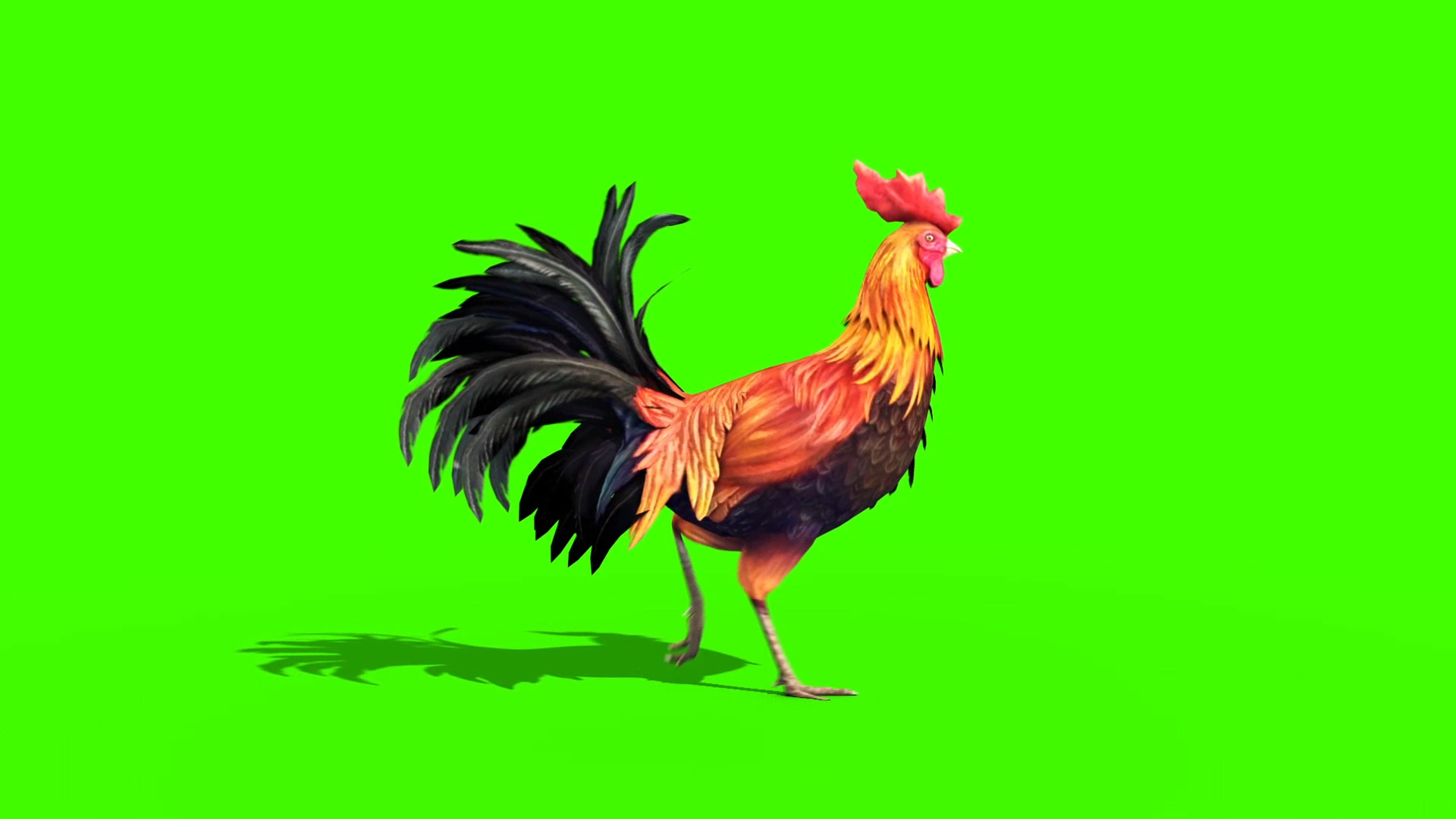 rooster plumage 3d model animated pixelboom