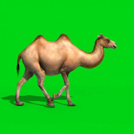 Camel Walks Runs Dies PixelBoom