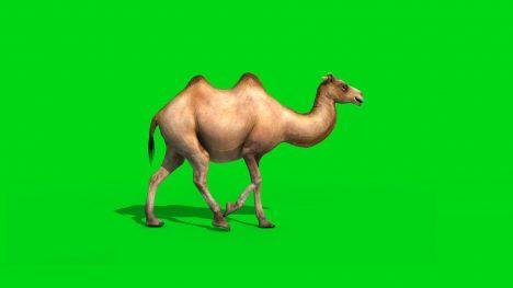 Camel Walks Runs – 3D Model Animated