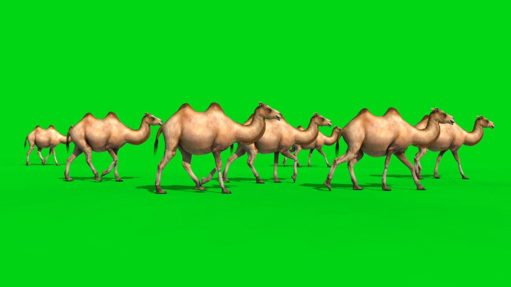 Group of Camels – 3D Model Animated