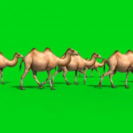 Group of Camels in the Desert PixelBoom