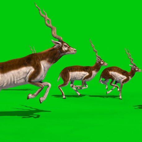 Indian Antelope Blackbuck PixelBoom
