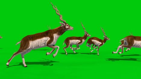 Indian Antelope – 3D Model Animated
