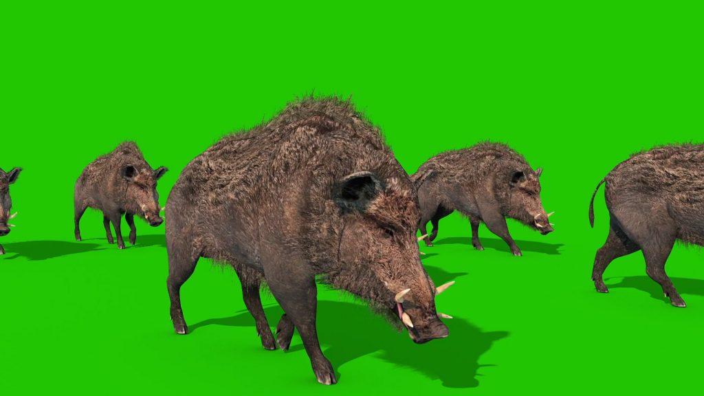 Wild Boar – 3D Model Animated