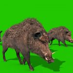 Green Screen Wild Boar Animals 3D Animations PixelBoom