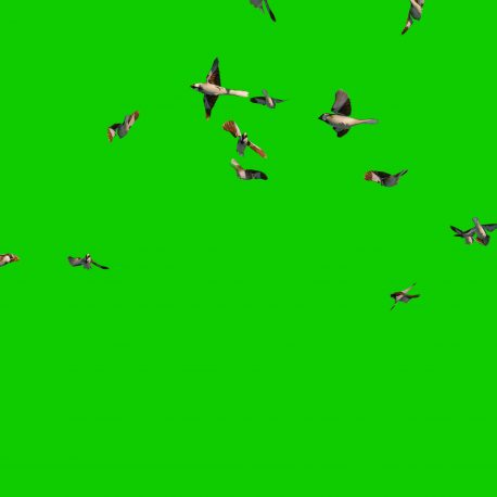 Green Screen Sparrow Flock 3D Animation PixelBoom