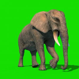 Green Screen Elephant Short Tusks PixelBoom