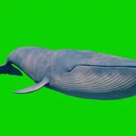 Blue Whale 3D Animation PixelBoom