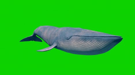 Blue Whale – 3D Model Animated