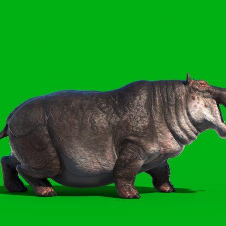 Hippopotamus Green Screen Animals 3D Animation PixelBoom