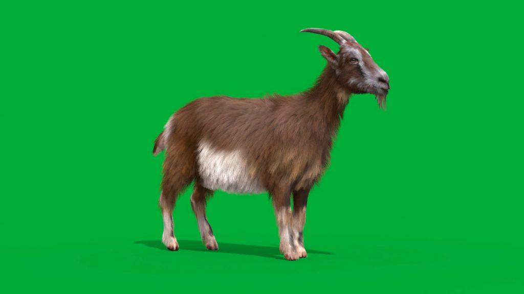 Green Screen Goat Real Fur 3D Animation Animals PixelBoom